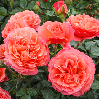 'Coral Lions-Rose'